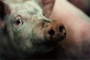 Waga świni